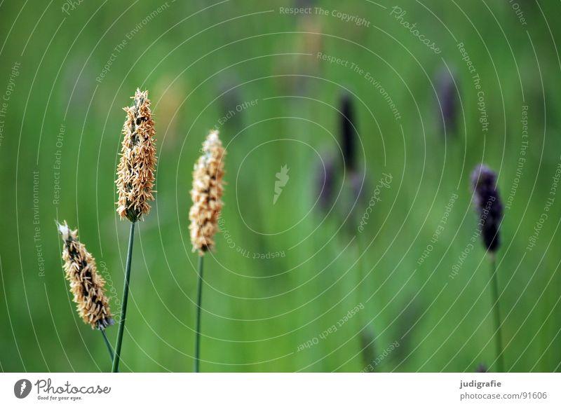 Gras blau grün schön Sommer Wiese glänzend weich violett zart Weide Stengel Halm sanft beweglich Pollen