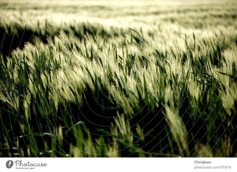 Gerste Natur grün Frühling Stimmung Beleuchtung Feld Wind Landwirtschaft Halm Korn Abenddämmerung wehen Gerste Abendsonne Agra