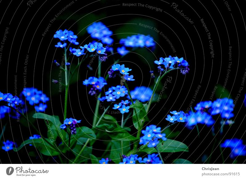 Vergiss mal nicht... Natur Blume blau Wiese Blüte Frühling Vergißmeinnicht