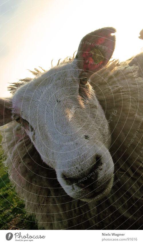 Und der Sieger ist...Nr 3 Schaf grün Meer Feld Wiese Wolle Tier Zaun Fressen Wolken Wollpullover Sonne Hügel Deich Biotop Naturschutzgebiet Ostsee Wasser Fuß