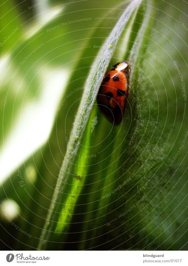 Silent And Safe Insekt Marienkäfer Geborgenheit Gras Sicherheit ruhig rot grün Wiese Tier weiß schwarz schlafen Natur Glücksbringer Makroaufnahme Nahaufnahme
