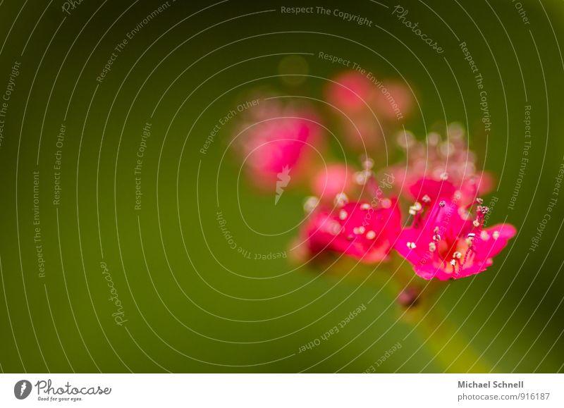 Kleine Blüten Natur Pflanze rot Umwelt natürlich klein rosa zart