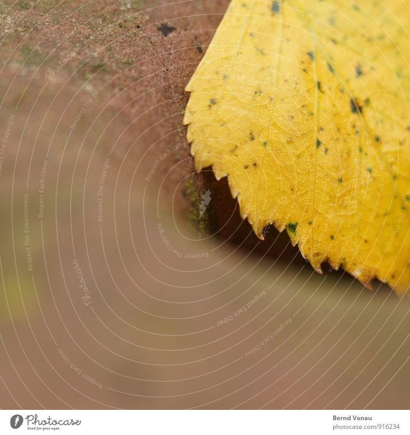 abschied Herbst Pflanze Blatt gelb rot Sandstein Blattadern zart rau gefleckt rund weich Herbstlaub Zacken Farbfoto Außenaufnahme Nahaufnahme Menschenleer