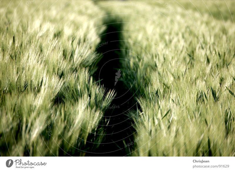 Gerste Natur grün Frühling Stimmung Beleuchtung Feld Wind Spuren Landwirtschaft Halm Korn Abenddämmerung wehen Traktor Abendsonne