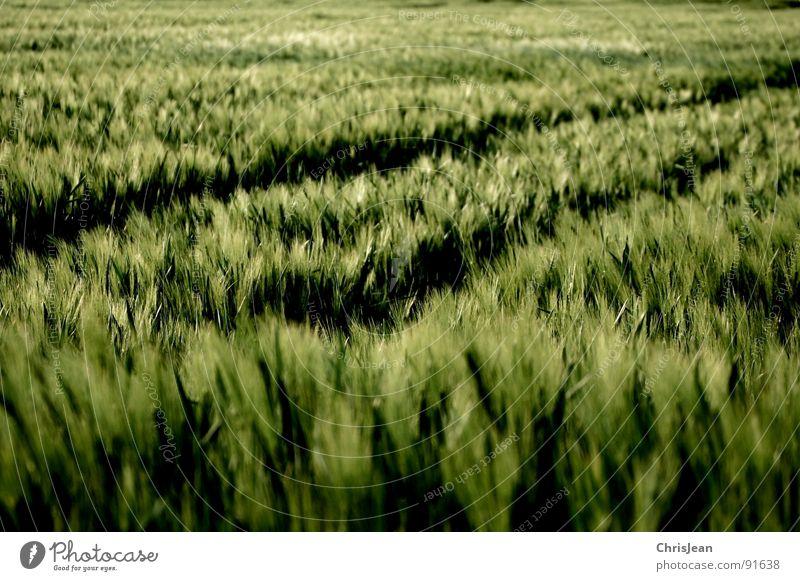 Gerste 3 Natur grün Frühling Stimmung Beleuchtung Feld Wind Spuren Landwirtschaft Halm Korn Abenddämmerung wehen Traktor Getreide