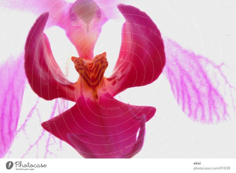 Phallenopsis Orchidee Blume Blüte Pflanze weiß zerbrechlich zart Gewächshaus Gärtnerei Blumenladen Blumenhändler Botanik fruchtbar magenta violett exemplarisch