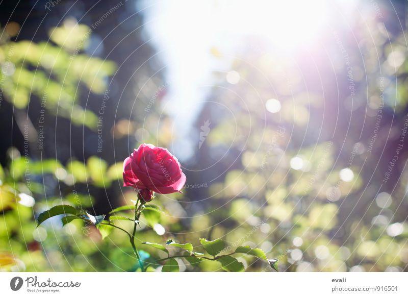 Frühlingsgefühle Pflanze Sonnenlicht Sommer Schönes Wetter Blume Rose Blüte Garten Park Blühend grün rot Frühlingstag Frühlingsblume Rosengewächse Rosenblüte