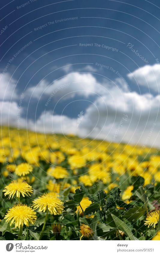 löwensommer Sommer Wolken Löwenzahn Blume Blüte gelb grün Juni Juli Ferien & Urlaub & Reisen frisch Pflanze Freizeit & Hobby Unschärfe Wiese Blumenwiese Feld