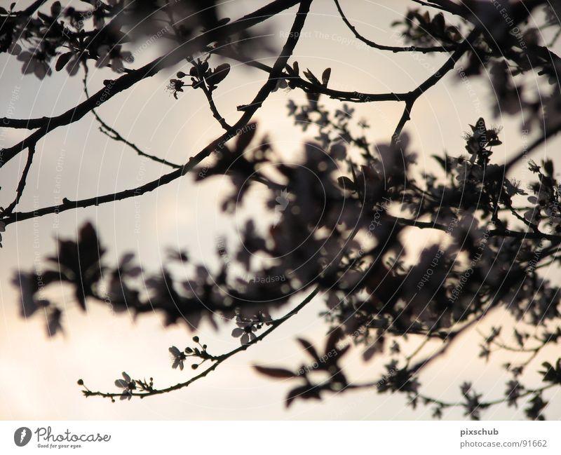 mystischer augenblick Baum dunkel Blüte Frühling Zweig Abenddämmerung Mysterium