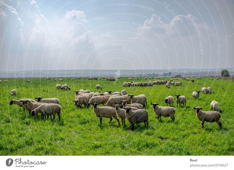 Wolken und Schafe Bauernhof Schäfer Umwelt Natur Himmel Sommer Wetter Schönes Wetter Grünpflanze Nutzpflanze Grasland Wiese Feld Weide Tier Nutztier Schafherde