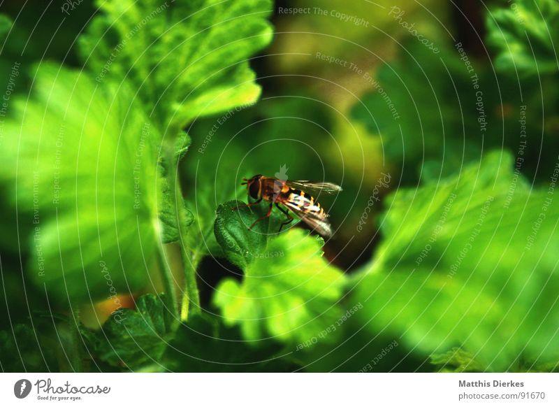 SCHWEBFLIEGE grün Pflanze Sommer Blatt klein fliegen Pause Sträucher Flügel Insekt Schmerz Biene gestreift Schwebfliege
