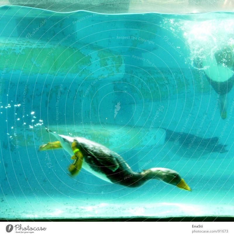 Abgetaucht. Zoo tauchen Unterwasseraufnahme Tier tief Ente Wasser blasen deep blau Water Duck Bobble Blubbern