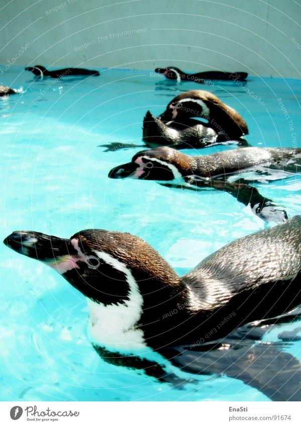 Pinguin-Alarm Wasser blau Sommer schwarz Tier kalt Eis hell Klarheit Reinigen Zoo Schnabel