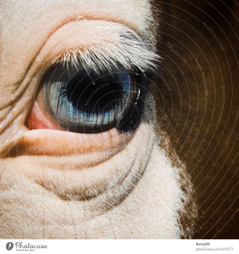 Fischauge Pferd Pferdeauge Wimpern Pupille weiß Blick Säugetier Makroaufnahme Nahaufnahme Auge Lidfalte blau Regenbogenhaut Momentaufnahme Blick in die Kamera