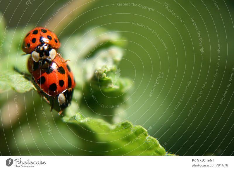 Frühlingsgefühle Natur grün Sommer Freude Blatt Tier 2 Tierpaar paarweise Punkt Käfer Marienkäfer Fortpflanzung