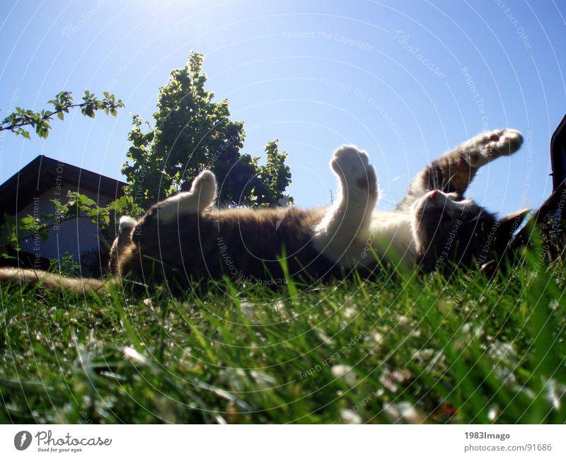 Katzenglück Sonne Tier Wiese Katze Säugetier Pfote Haustier Stofftiere Sommertag