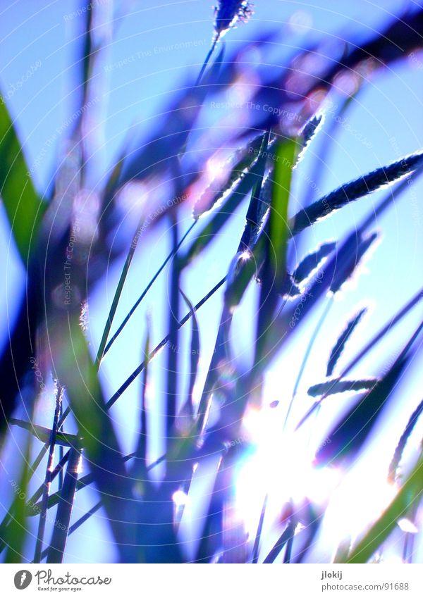 Gegen-Licht-Gestalten I Gras grün Gegenlicht Allergiker Pflanze Wiese Frühling Wachstum glänzend Unschärfe Halm Stengel Ähren Bewegung Wind hauch blau Himmel