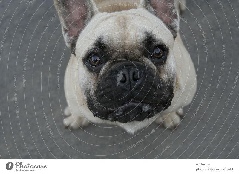 Ottos Mops? Hund beige schwarz Neugier Schnauze Reflexion & Spiegelung Vogelperspektive Säugetier Auge Maul Sabber