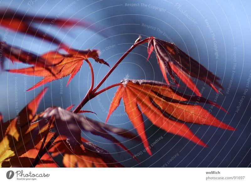 er tanzt im Wind Natur blau Baum rot Sonne Sommer Freude Blatt Garten Frühling Park Wind zart Botanik Ahorn Windspiel