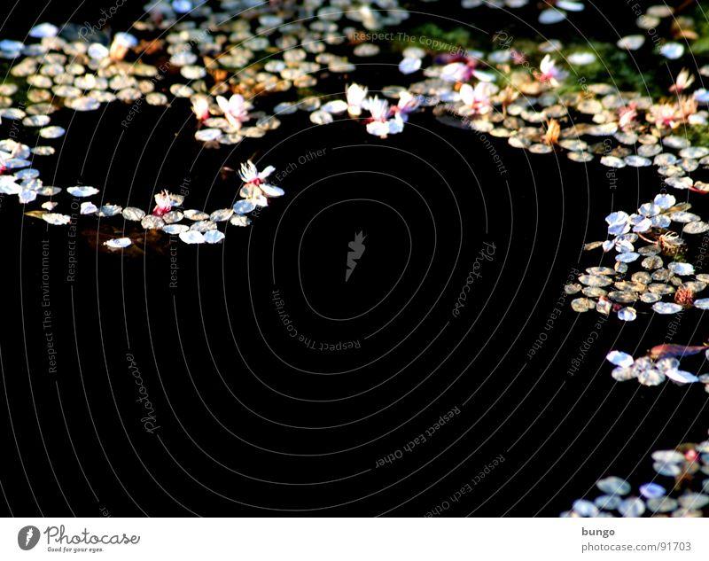 Dunkle Tränen Teich Reflexion & Spiegelung Blüte Muster dunkel Oberfläche Wasser reflektion blüttenblätter bedecken Strukturen & Formen blättchen