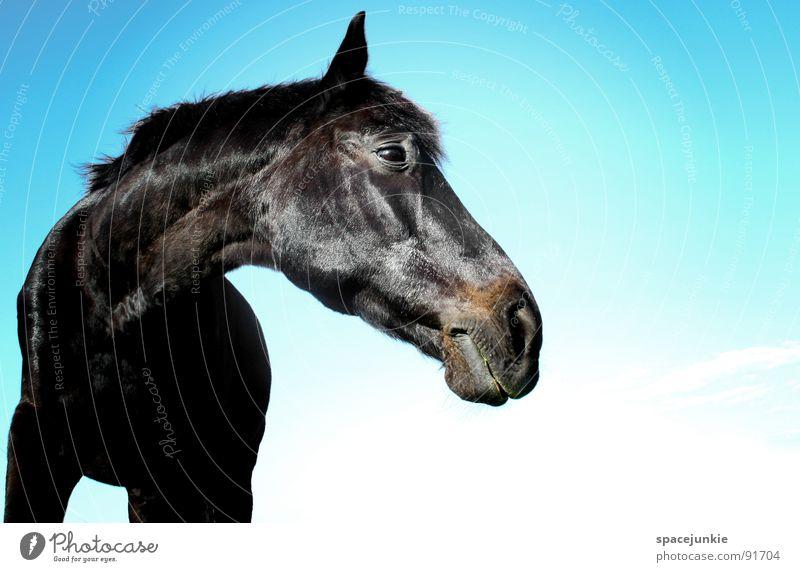 Just a horse Natur Himmel blau schwarz Tier Wiese Gras elegant Pferd Weide Halm Fressen Säugetier Mähne