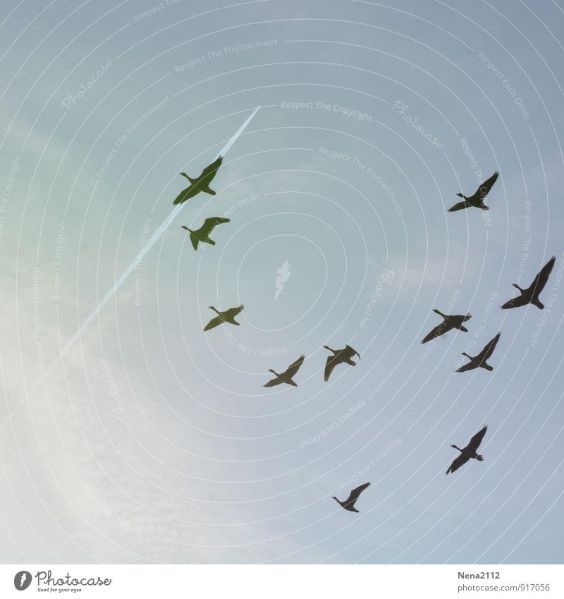 Fliegen / nach Süd Natur Ferien & Urlaub & Reisen Tier Umwelt Freiheit fliegen Vogel Luft hoch Tiergruppe Süden Gans Migration