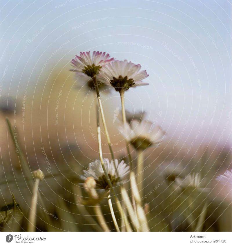 Gänseblümchen schön Himmel Blume Sommer Blüte Frühling frisch Blühend