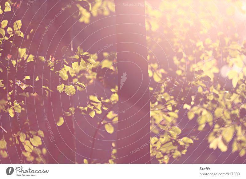 Buche im warmen Herbstlicht im Oktober Buchenblätter Lichtschein Sonnenlicht Lichteinfall Laubbaum warmes Herbstlicht warmes Licht Lichtfülle Lichtschimmer