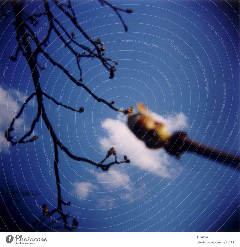 Knospe Holga Baum Frühling Wolken Blüte Blatt Pflanze Blühend aufgehen Geäst Lomografie Blütenknospen Himmel Ast Zweig Kastanienbaum Natur