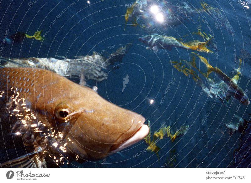 Neugieriger Fisch Riff tauchen Australien Queensland Whitsunday Islands füttern See Meer Wasser Skuba Diving Attacke feeding Water Sea Angeln