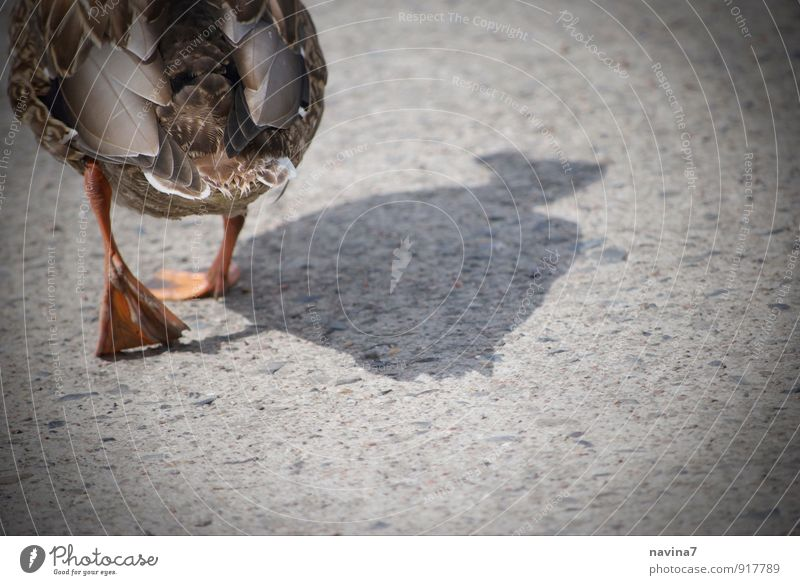 Bin dann mal weg Tier grau gehen braun Wildtier laufen wandern Geschwindigkeit Ente Fleisch Abschied Nutztier Tierliebe Asiatische Küche beleidigt watscheln