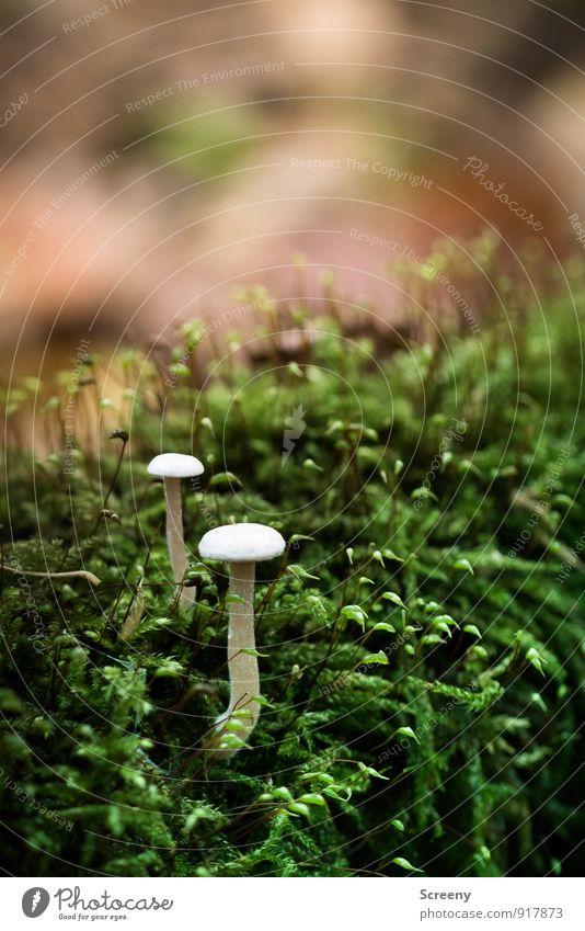 Fungus-Bergwanderung Natur Pflanze Herbst Moos Wildpflanze Pilz Pilzhut Wald Wachstum klein wild braun grün weiß Gelassenheit geduldig ruhig Idylle Farbfoto