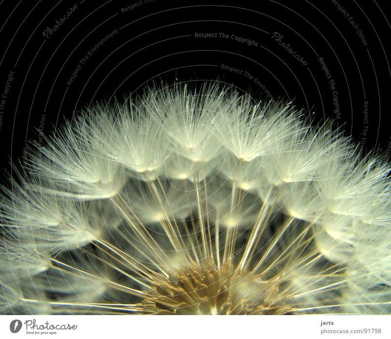 Pusteblume III Löwenzahn Wiese Schweben leicht fein schön Blüte Frühling Sommer Makroaufnahme Nahaufnahme Blüme fliegen jarts