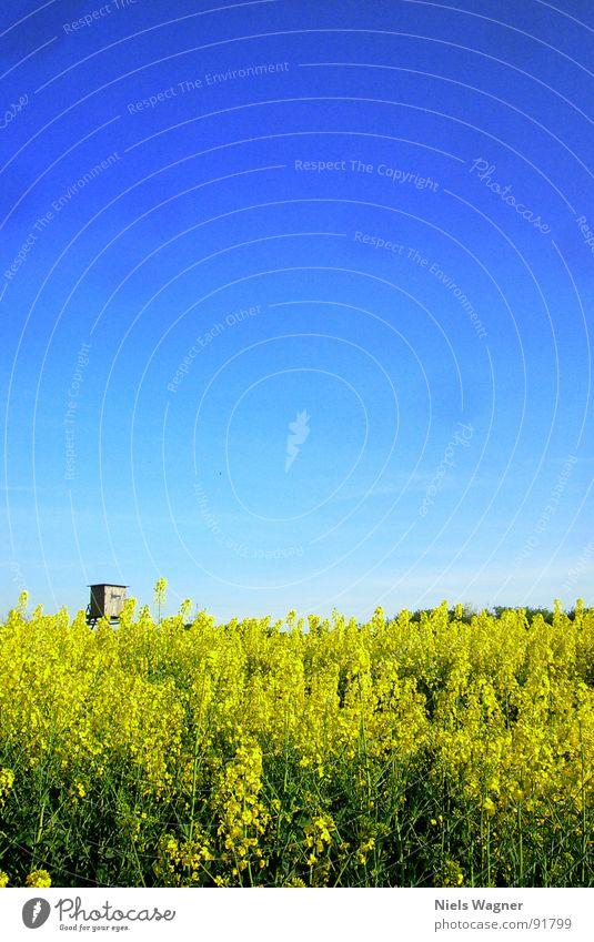 RAPSZEIT! Raps Feld Wiese Hochsitz gelb grün Sommer Physik Blüte Holz Verlauf Jäger Freizeit & Hobby Himmel blau Wärme Bodenbelag
