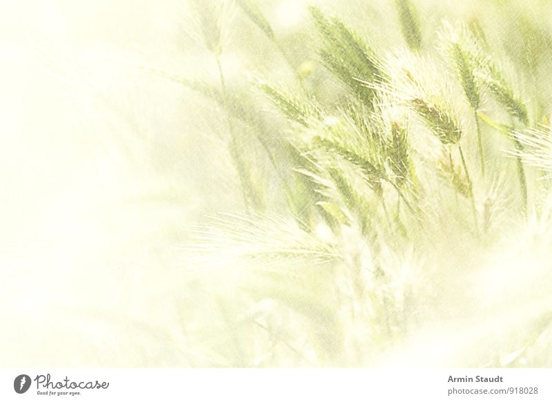 Grünes Getreidefeld Lebensmittel Design Sommer Natur Pflanze Sonnenlicht Frühling Nutzpflanze Weizen Feld Wachstum ästhetisch frisch Gesundheit hell natürlich
