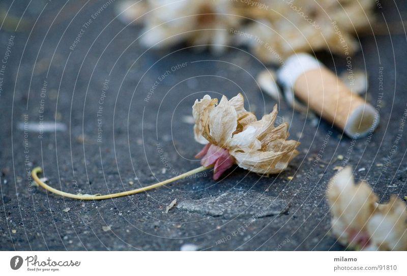 Vanitas grau Blüte Vergänglichkeit Asphalt Zigarette beige welk zerbrechlich Zierkirsche Zigarettenstummel