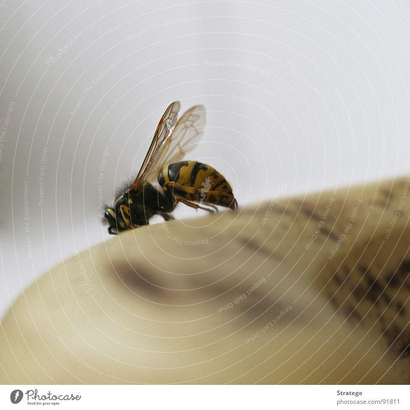 gelbes Frühstück Freude Tier gelb Ernährung Luft Frucht fliegen süß stehen Streifen Flügel Frieden Insekt Appetit & Hunger Fleck Glätte