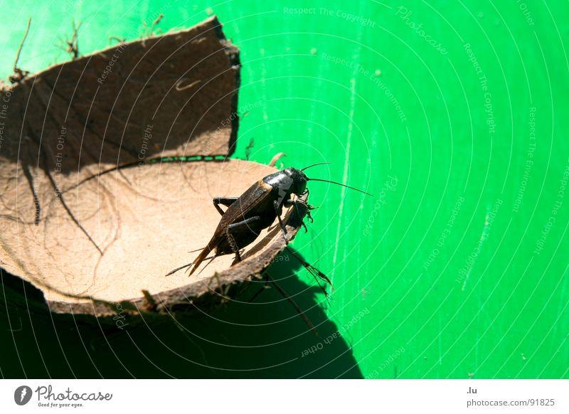 #404 Titel nicht gefunden Tier Insekt springen grün Kokosnuss hässlich Fühler klein Kratzer hüpfen Gemeine Küchenschabe Schaben Angst Panik Käfer