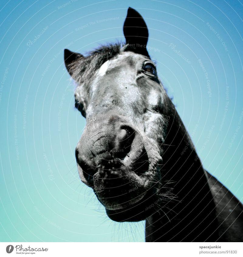 Just a horse (2) Natur Himmel blau schwarz Tier Wiese Gras elegant Pferd Weide Halm Fressen Säugetier Maul Mähne