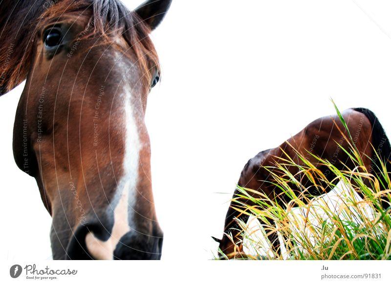 _ langes Gesicht Pferd Fressen Blick Freundschaft Freisteller Gras Wiese erstaunt staunen Säugetier langes Gesicht machen was passiert Geruch Partner vorwärts
