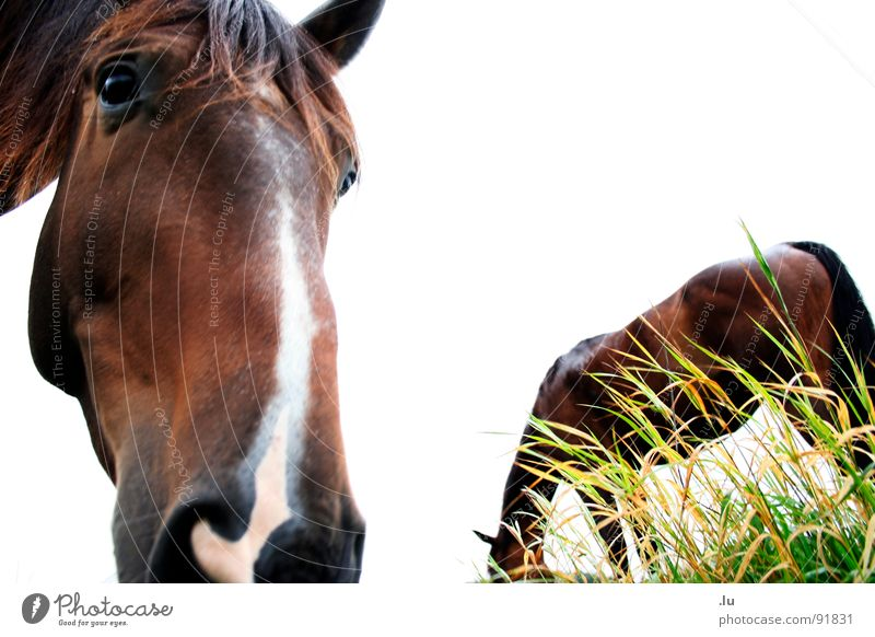_ langes Gesicht Wiese Gras Freundschaft Pferd Freisteller vorwärts Partner Weide Geruch Fressen Säugetier rückwärts erstaunt staunen