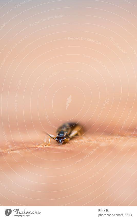 KrabbelTier warten Insekt krabbeln Käfer Fühler frontal