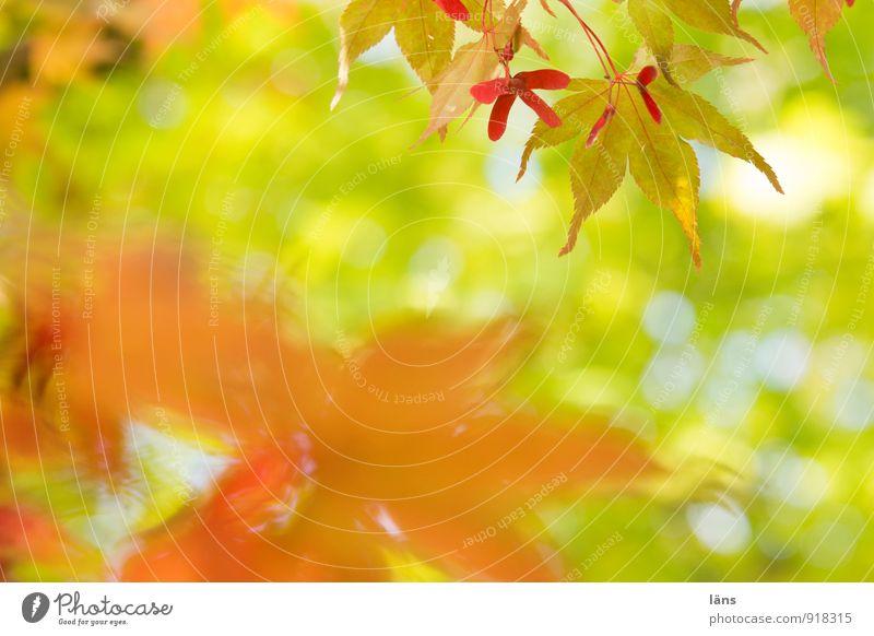 gegenüber.. Umwelt Natur Sonnenlicht Herbst Baum Blatt Grünpflanze Wildpflanze Japanischer Ahorn Garten Park einzigartig Vergänglichkeit Wandel & Veränderung