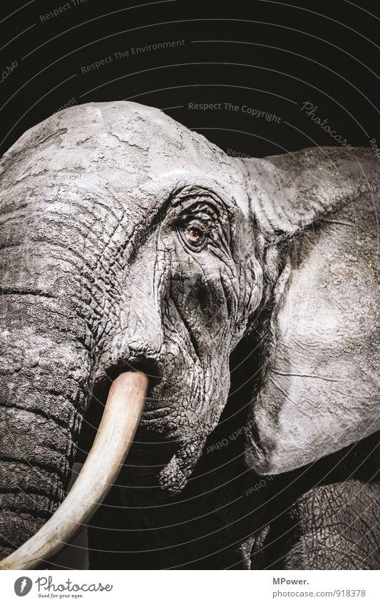 dickhäutig II 1 Tier alt Elefant Stoßzähne Auge Ohr Falte Hautfalten rau grau Traurigkeit Angesicht zu Angesicht bedrohlich Gedeckte Farben Nahaufnahme