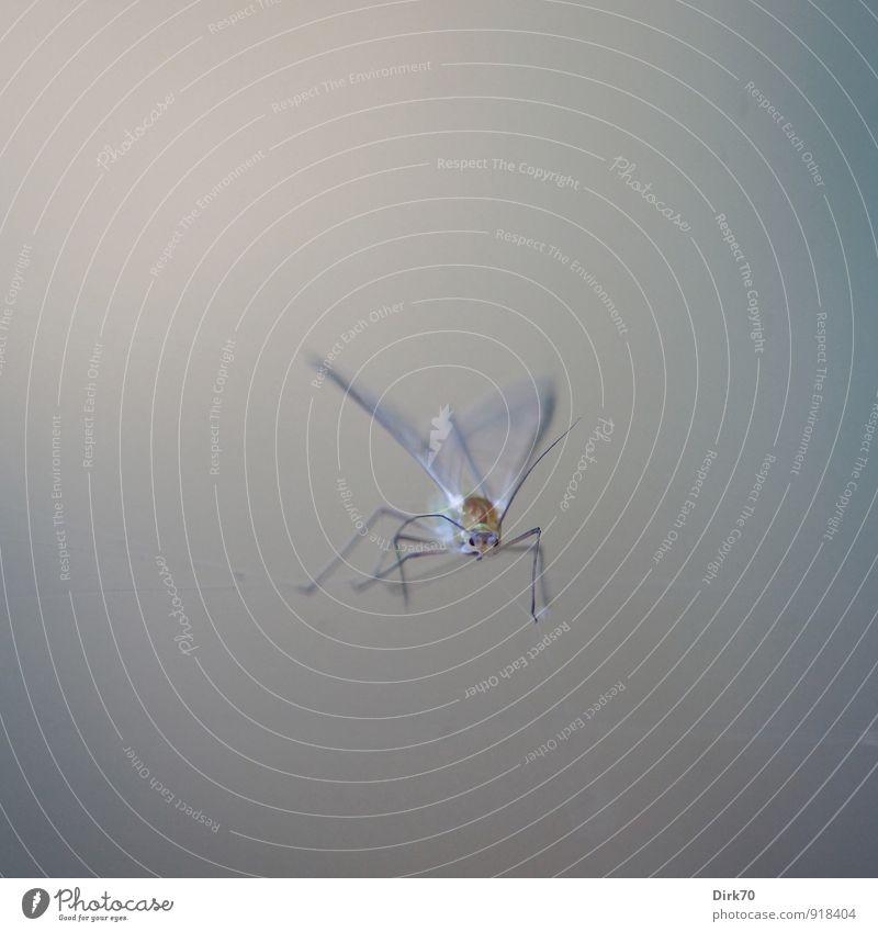 Am seidenen Faden Umwelt Natur Tier Wildtier Totes Tier Fliege Insekt Taufliege Blattläuse 1 Schnur Netz Netzwerk Spinnennetz hängen klein braun grau schwarz