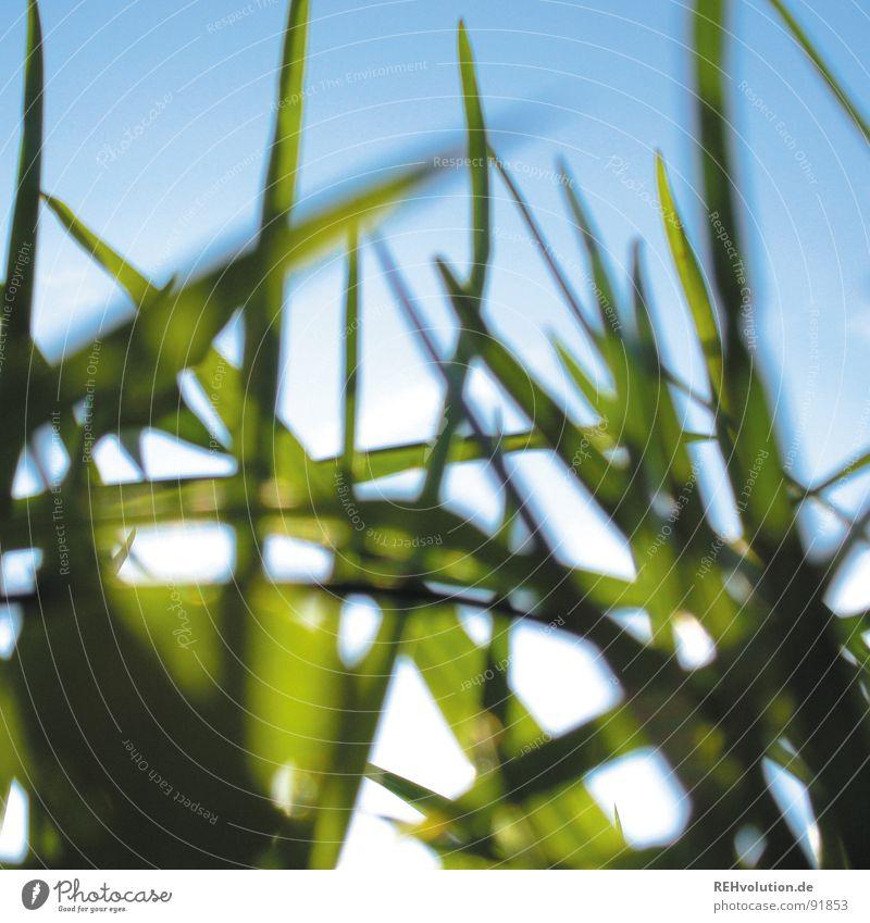 - kriech-tier-blick - Himmel blau grün Sommer Sonne Wiese Gras Beleuchtung liegen frisch Halm saftig