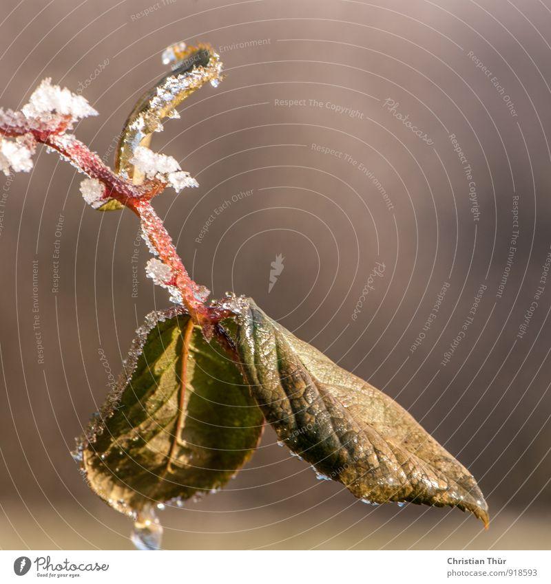 Blatter von wilden Brombeeren am Morgen Natur Pflanze grün Erholung Einsamkeit rot Winter kalt Wiese Schnee Eis Schneefall Feld Zufriedenheit leuchten