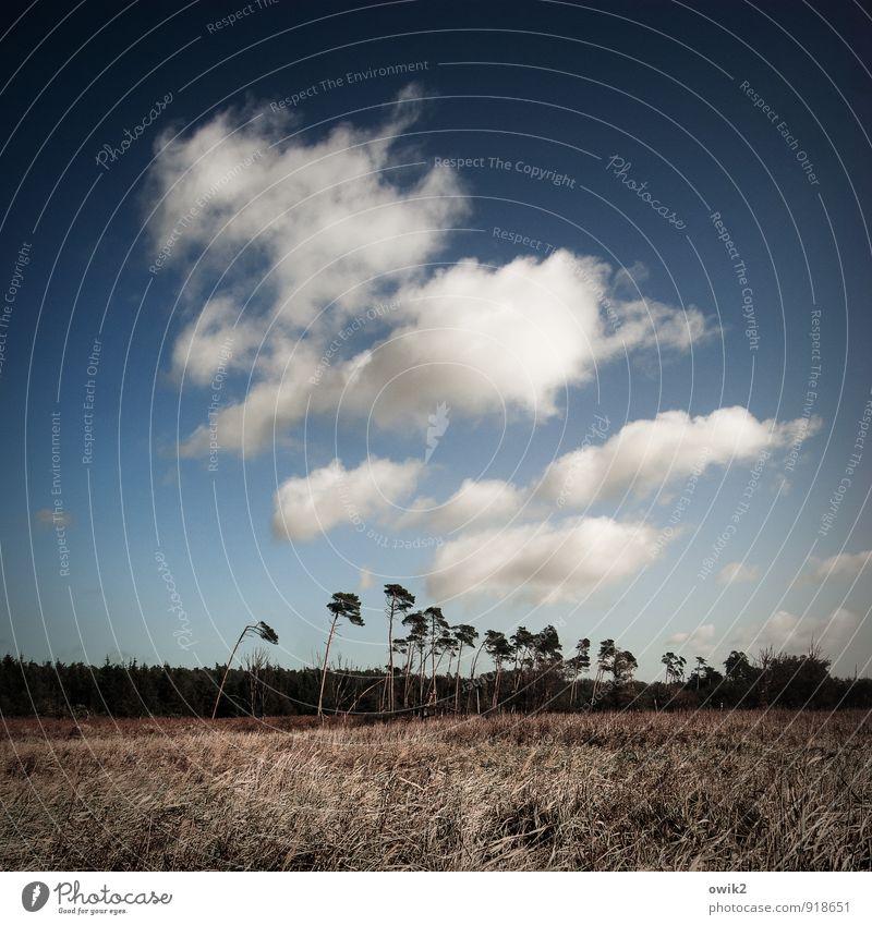Die Unbeugsamen Umwelt Natur Landschaft Pflanze Himmel Wolken Horizont Klima Wetter Schönes Wetter Baum Sträucher Wald Weststrand stehen Wachstum hoch blau