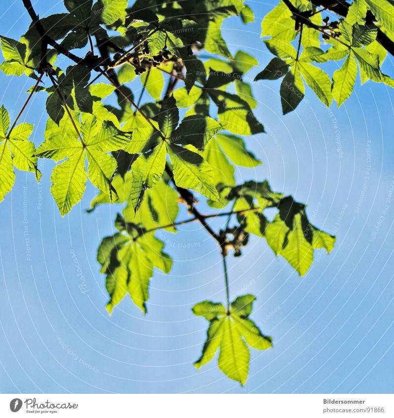Kastanie Natur Himmel Baum grün blau Blatt springen Frühling Kastanienbaum himmelblau grasgrün Kastanienblatt