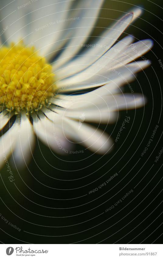 Daisy II Natur weiß Blume grün gelb Blüte Gänseblümchen Pollen